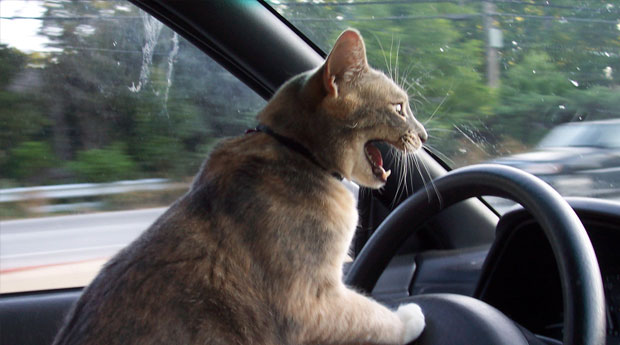 angry-cat-driving